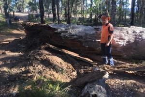 big-tree-cut-armac