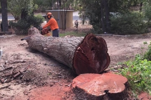 Big tree cutting