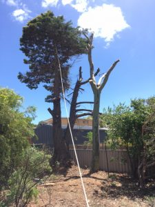 Cypress Pine and Eucalypt Removal