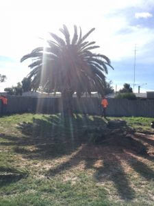 Date Palm removal in Eaton